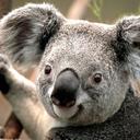 Koala thumb128