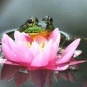Frog lily thumb128