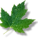 Canada state flower maple leaf8 thumb128