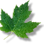 Canada state flower maple leaf8 thumb175