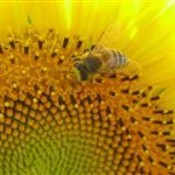 Sun flower 3326 med thumb175