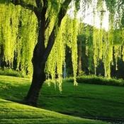 Nice willow tree thumb175