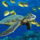 Green sea turtle thumb128