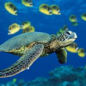 Green sea turtle thumb175