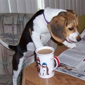 Beagle_and_newspaper_thumb175