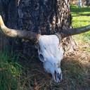 Cowhorn skull.jpg thumb128