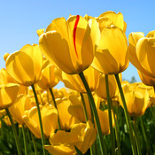 Tulips thumb175