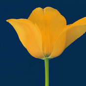 Yellowtulip thumb175