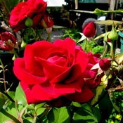 Red roses thumb175