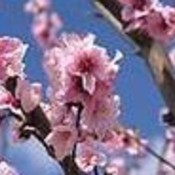 Pink blossoms thumb175