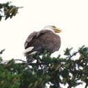 Eagle   june 20  2009  623  thumb128