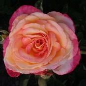 Mbh rose thumb175