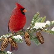 Cardinalinthesnow.1 thumb175