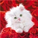 Kitty and red roses  avatar thumb128