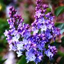 Lilacs_thumb128