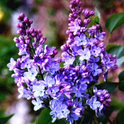 Lilacs thumb175