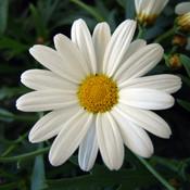 Marguerite daisy flowers 724870 1024 768 thumb175
