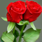 Roses_red_thumb48