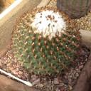 Turbinicarpus ysabelae1a thumb128