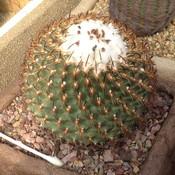 Turbinicarpus_ysabelae1a_thumb175