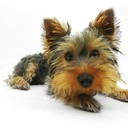 Yorkshire-terrier-790361_1280_thumb128