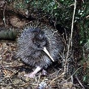 kiwi_bird's profile picture