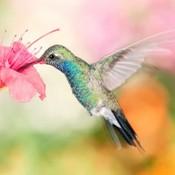 Broad hummingbird nature fast bird flower humming thumb175