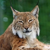 Bobcats thumb175