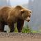 Brown bear thumb48