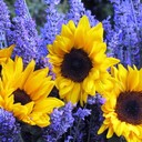 Floral color wheel lavendar sunflowers thumb128