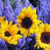 Floral color wheel lavendar sunflowers thumb175