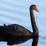 Black swan thumb175