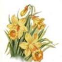 Bonanza daffodils thumb128
