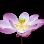 Flower dreamstime xs 12645039 thumb175
