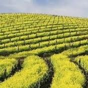 Field of mustard thumb175
