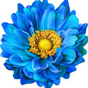 Gerbera_and_Dahlia's profile picture