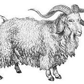Angora goat 300x227 thumb175