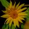 Dsc 0310 flower sunflower thumb48
