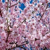 Japanese cherry trees 2168858  480 thumb175